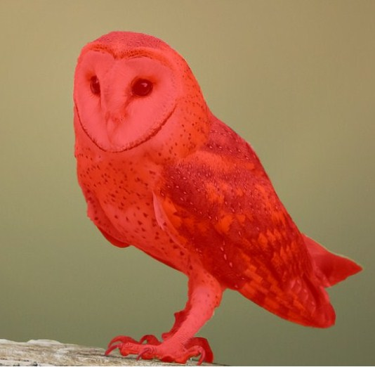 A red color owl is sitting